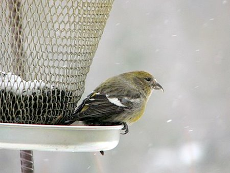 White Winged Crossbill (Female)