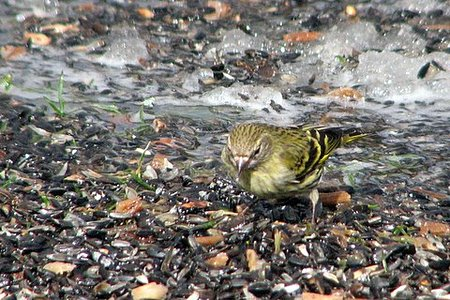 Pine Siskin Near the Stream