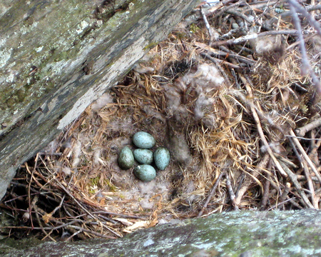 Raven's Nest with Eggs