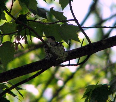 hummer-on-nest