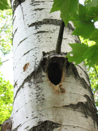 Pileated nest