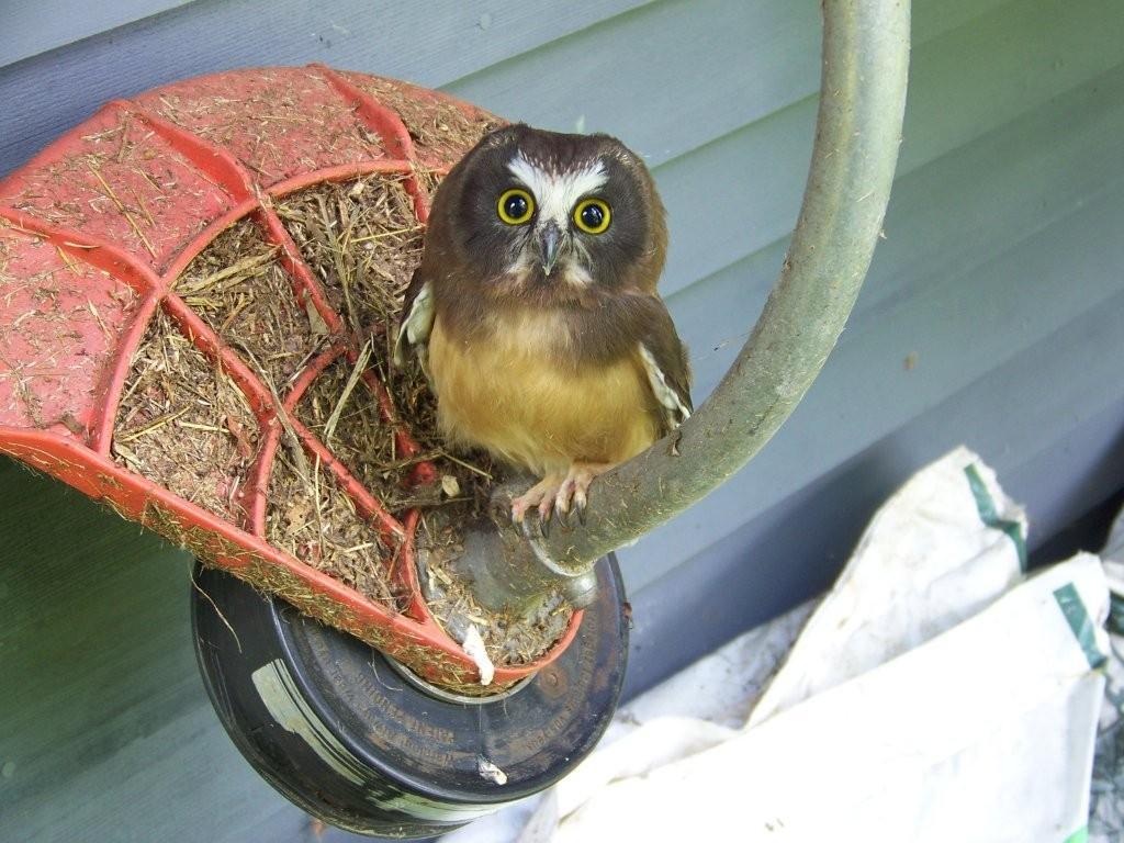 Juvenile Saw Whet Owl
