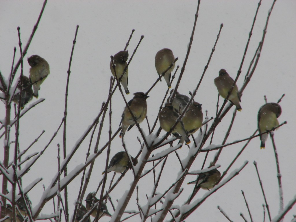 Cedar Waxwings enjoy a snowy day.