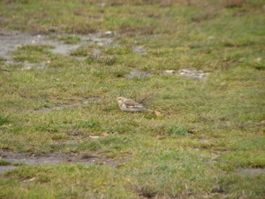 A single Snow Bunting forages at Blueberry Lake in late October.