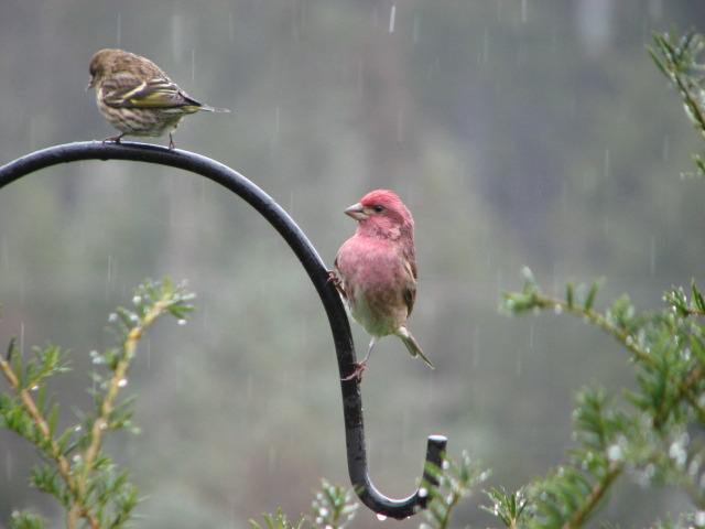 These finches were two of many visiting the feeder in the cold rain.