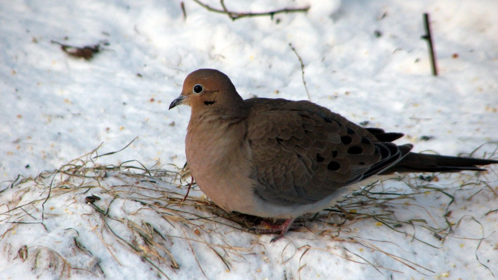 The Mourning Dove is a common year round resident in the Valley.