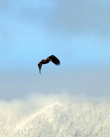 Eagle in Waitsfield, Sugarbush in Background