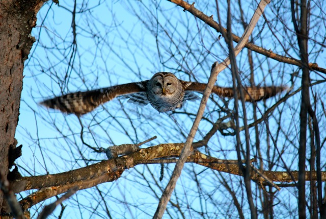 Barred Owl in Flight - Version 3