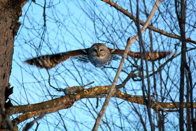 Barred Owl in Flight - Version 3