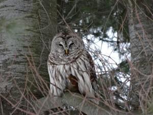 Geiger Owl