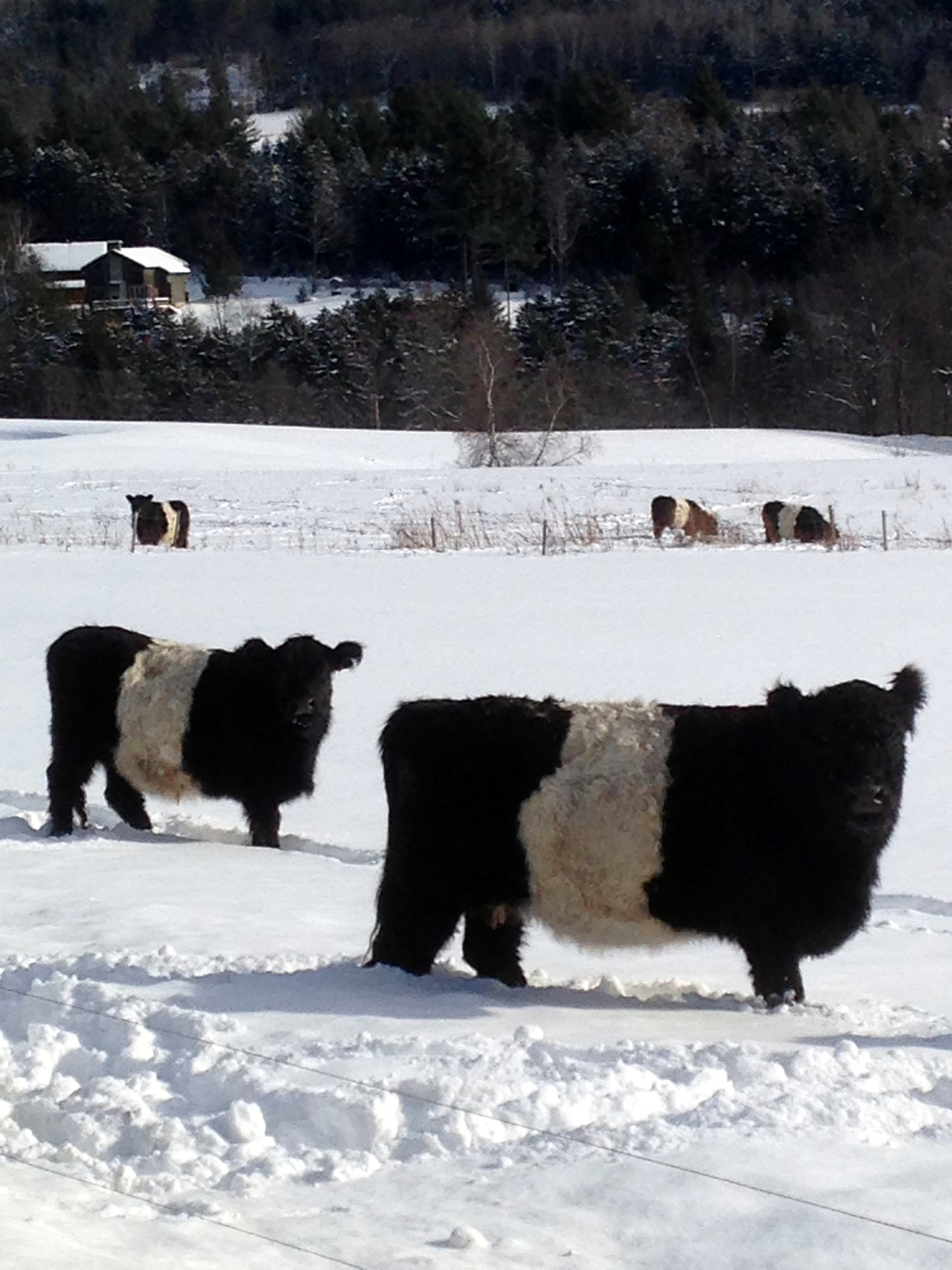 Some Belted Galloway cows were among the onlookers of our Christmas Bird Count team