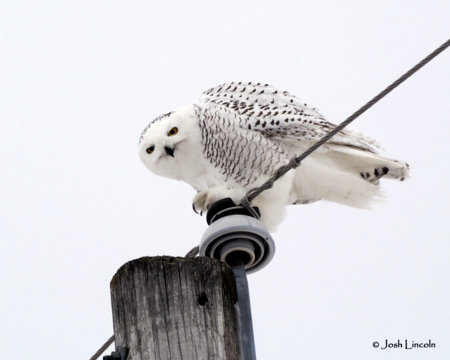 Snowy Owl in Washington County Vermont on New Year's Day.
