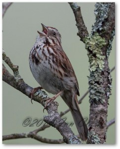 Song Sparrow, singing!