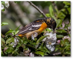 Immature Baltimore Oriole