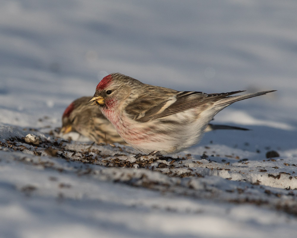 Common Redpolls in Winter Photo by Ian Clark