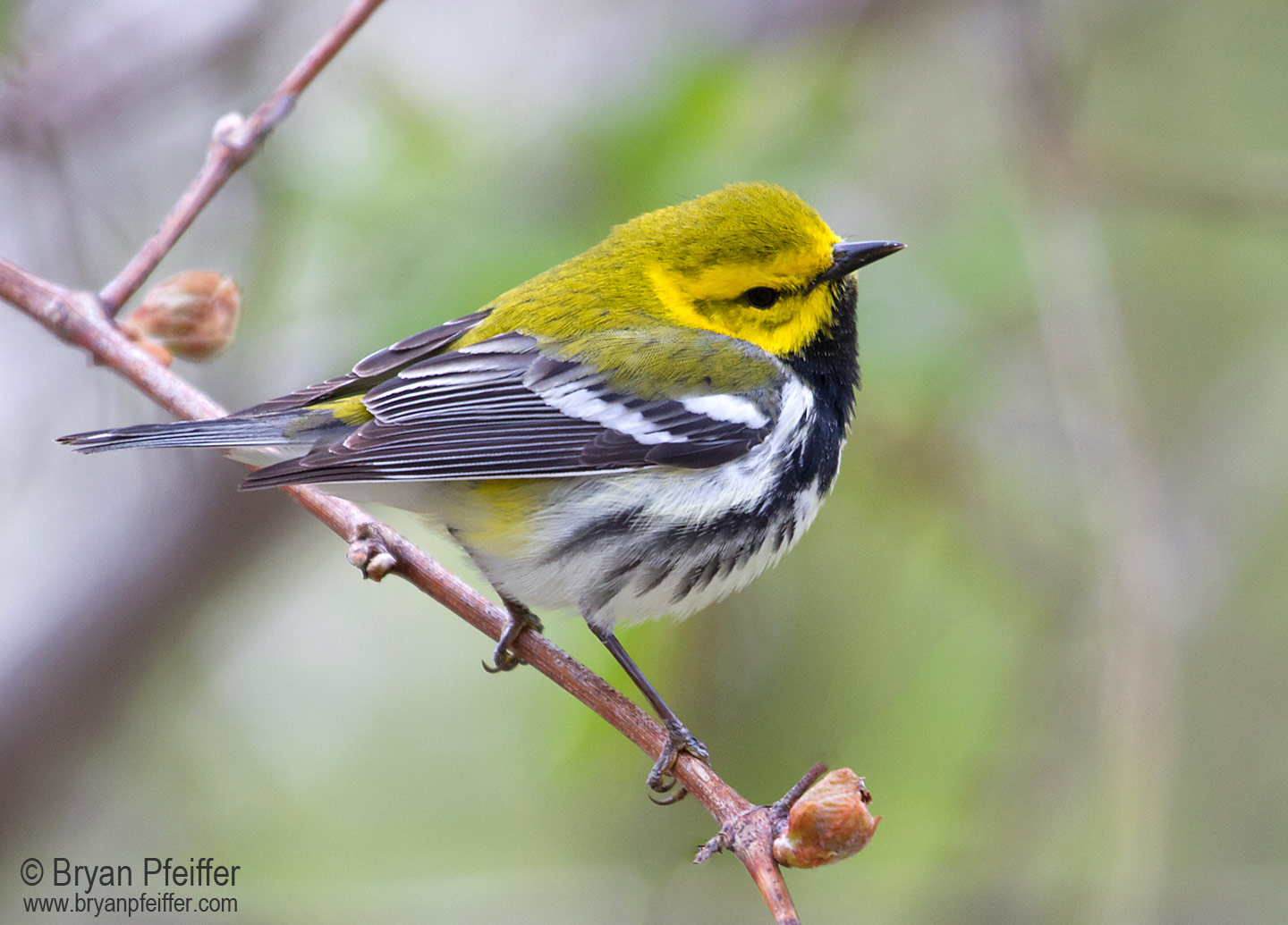Black-throated-Green-Warbler-1440x1035