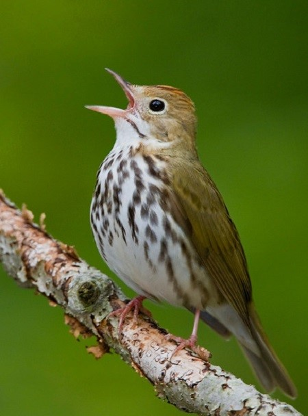 Ovenbird (Seiurus aurocapillus) perched on a branch and singing in Long Point, Ontario, Canada.